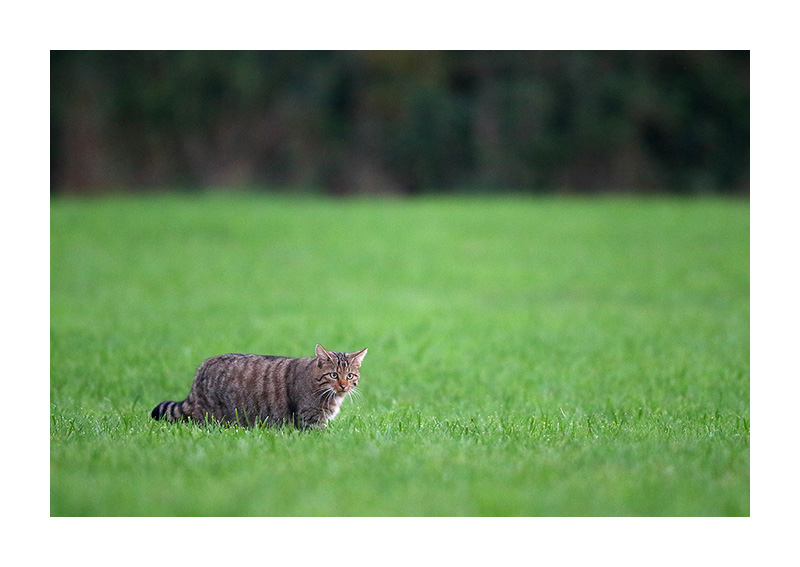 Chat forestier (Felis silvestris)
